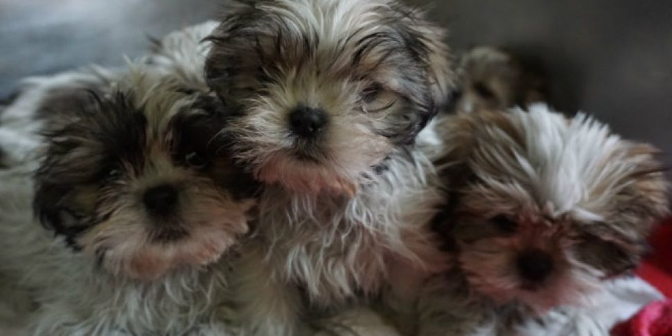 30,000 Puppies Are Exported To...