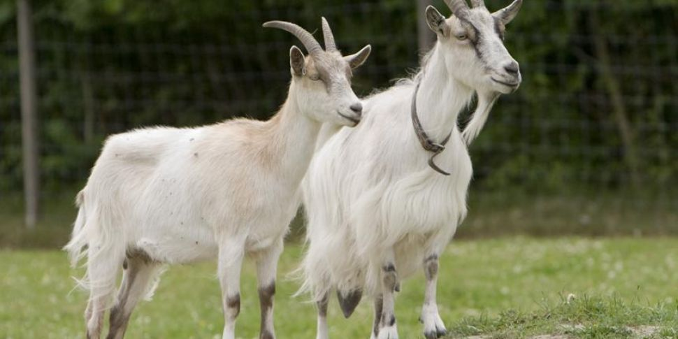 Goats To Help Tackle Fires On...