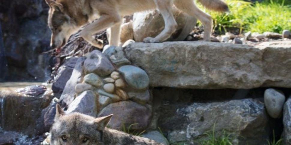 Brand New Wolf Habitat Opens I...