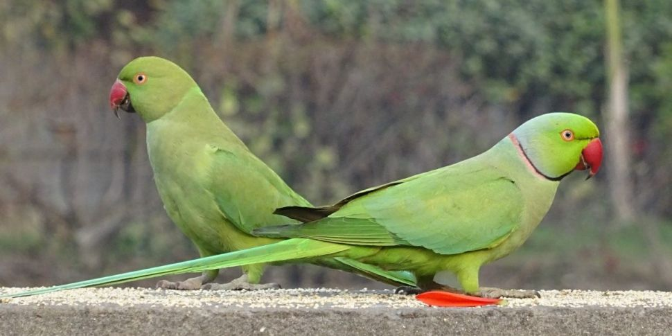 Parakeets Are Popping Up In Du...