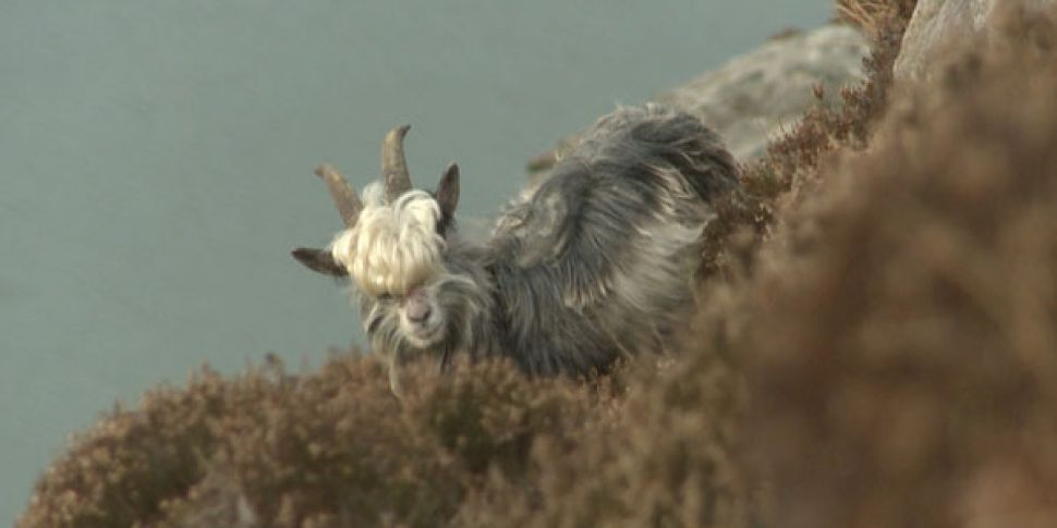 Fancy Looking After Goats On H...