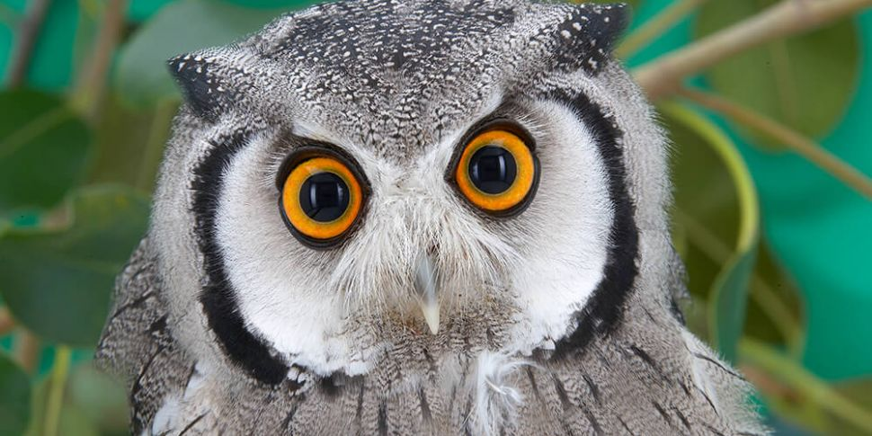 Owner Denies His Owl's On the...