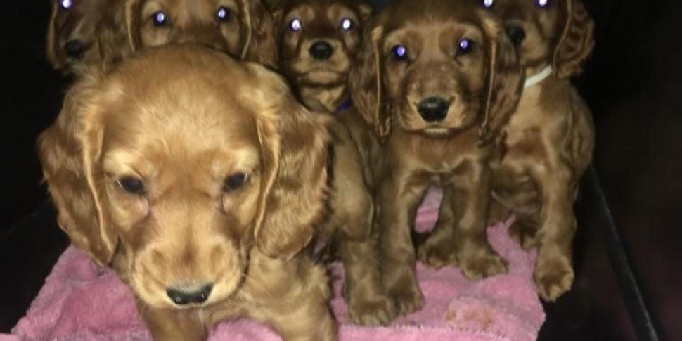 Cocker Spaniel Pups Rescued Fr...