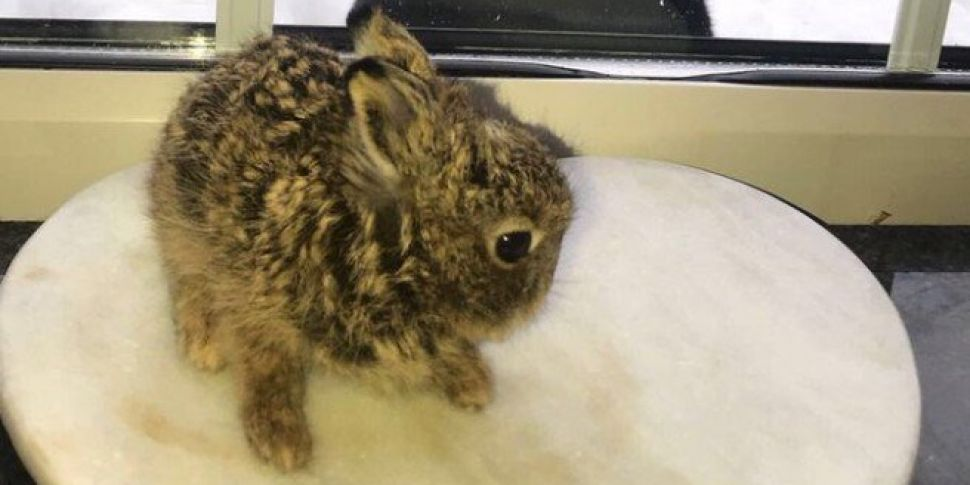 Baby Hare Recovering After Dramatic Dublin Airport Storm Rescue