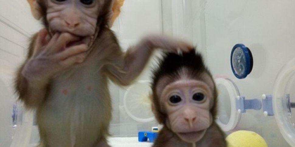 Monkeys Cloned Using 'Doll...