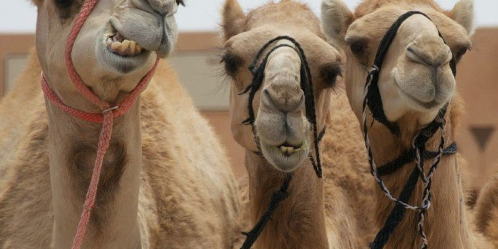 Camels Banned From Beauty Cont...