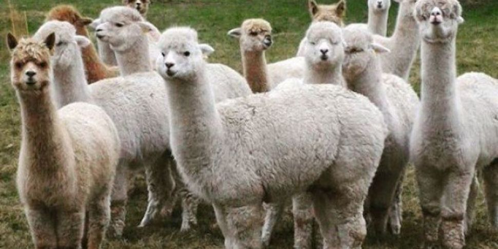 You Can Now Go On An Alpaca Hike In Wicklow