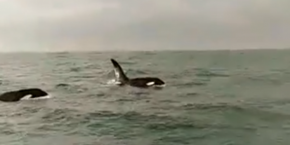 Killer Whales Spotted Off Skerries Coast