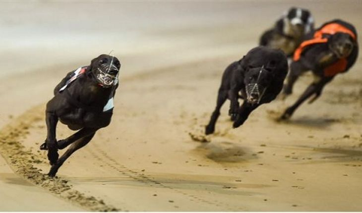 irish greyhound st leger betting line