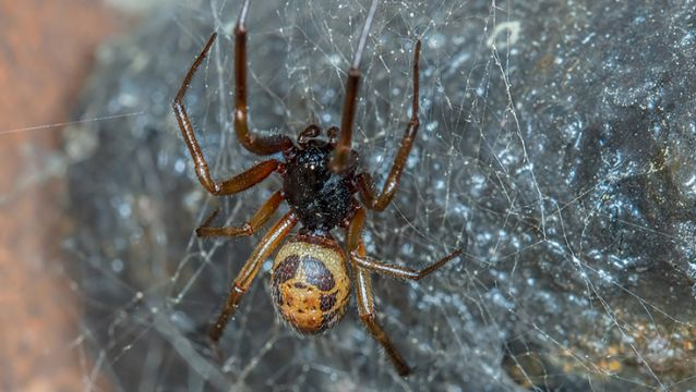 Bite From False Widow Spider Spreads Antibiotic-Resistant Bacteria