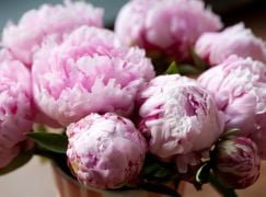 Five Places To See Amazing Peonies In The Uk And Ireland