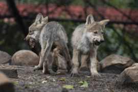 Mexican Wolf Breeding Programme Gets Boost From Zoo