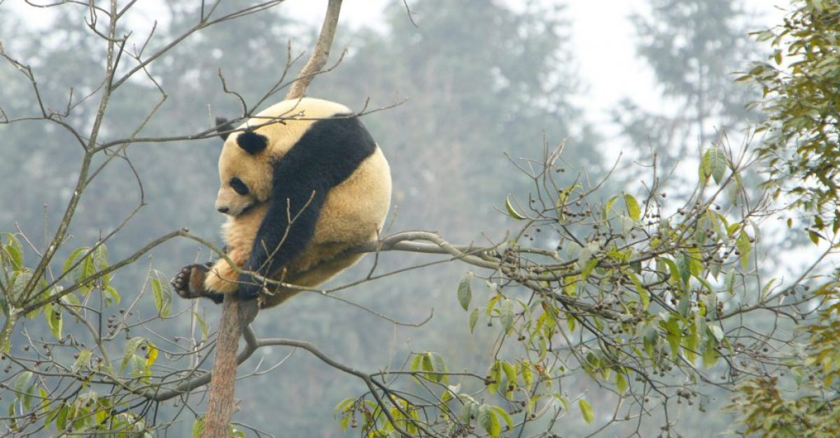 French zoo celebrates birth of twin giant panda cubs