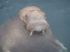 Footage Captured Of Wally The Walrus On Waterford Visit After European Tour