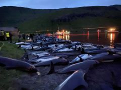 Slaughter Of Dolphins On Faroes Sparks Debate On Traditions