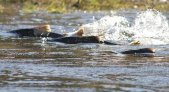 Fears Donegal Bogslide Will Impact Key Salmon Population