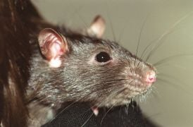 Former Employee Jailed After Releasing Rats Into Cork Council Offices