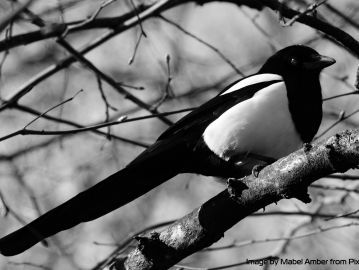 Beware of Magpies!