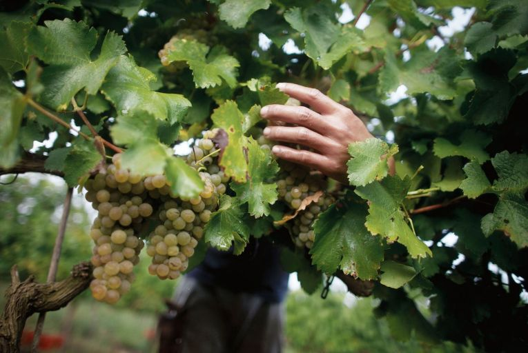 Viognier is synonymous with the invigorating aromas of apricots and peaches as well as floral and honeysuckle notes. Picture: Getty
