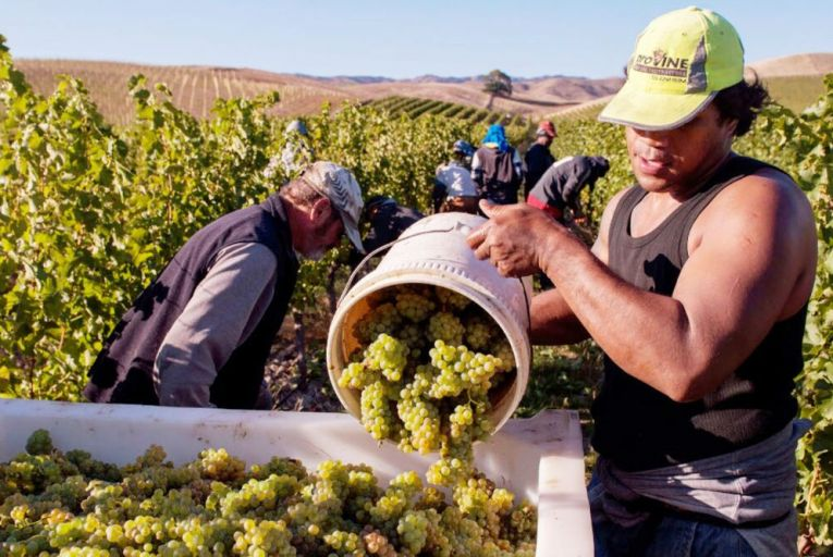 Workers harvesting sauvignon blanc for Greywacke at Yarrum Vineyard in Ben Morven Valley, New Zealand