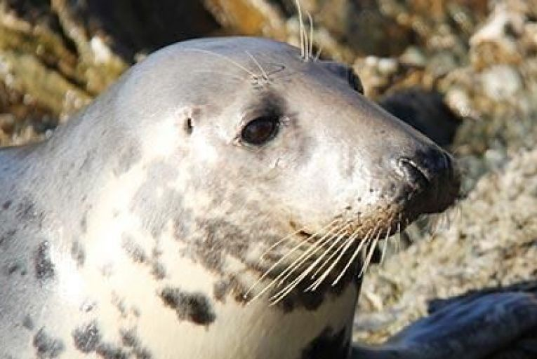 A seal on Inishbofin