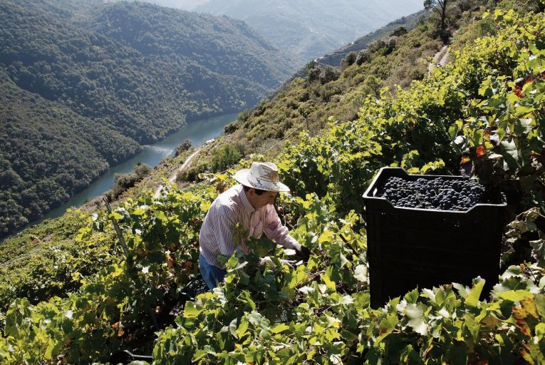 Picking grapes on steep 'bancadas' or terraces in the region of Ribeira Sacra in Galicia. Photo: Getty