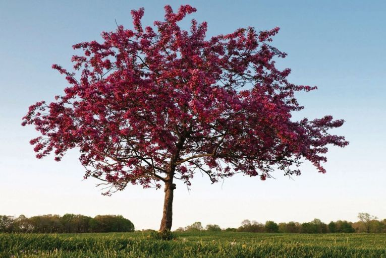Crabapple Prairie Fire: its pink flowers signify the start of spring