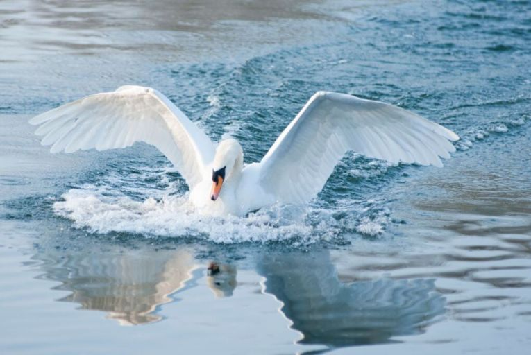 Reasons to fear the worst as white swans come home to roost
