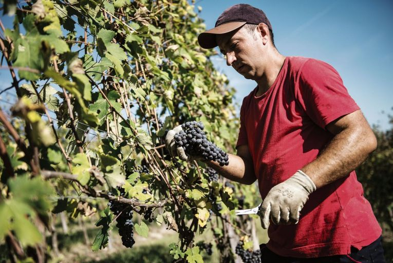 The vine pandemic's lessons from history