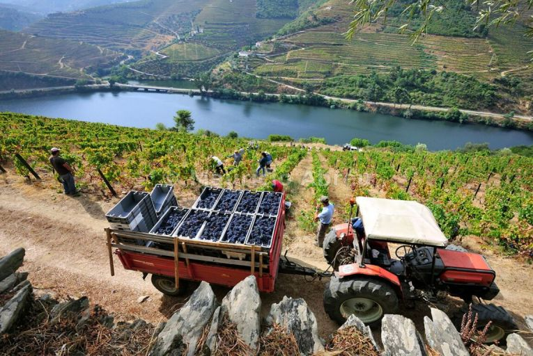 Harvesting in the Douro Valley in northern Portugal which is known for its red wines. Picture: Mauricio Abreu