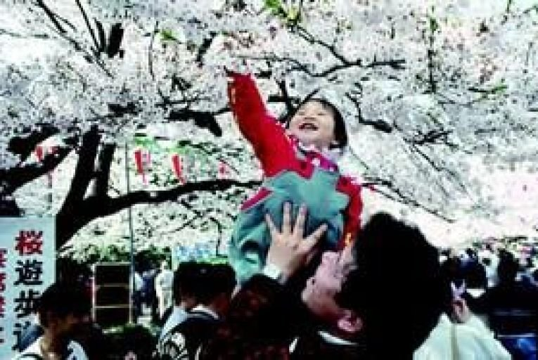 The blooming of Japan\'s cherry blossom trees is a time of national celebration.