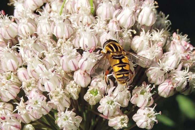 Alliums are great for insects