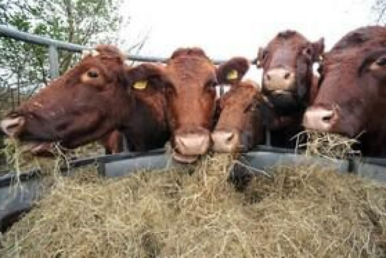 Cattle outnumber humans in Ireland