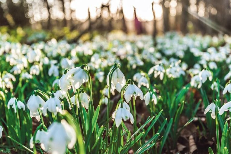 Snowdrops were once described as 'the Pale Stars that gladden Nature's dreary night', and with good reason