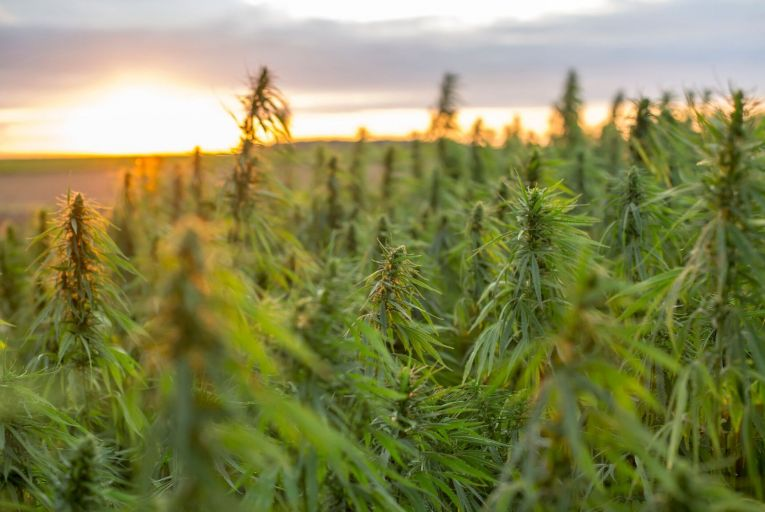 Hemp can be legally grown in Ireland under a licence granted by the Department of Health and processed by the Health Products Regulatory Authority. Picture: Getty