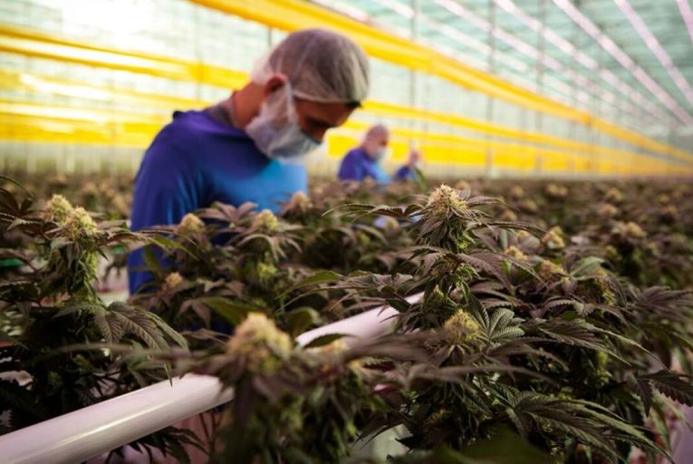 Global 'Big Tobacco' firm lobbied government to set up cannabis cultivation in Ireland