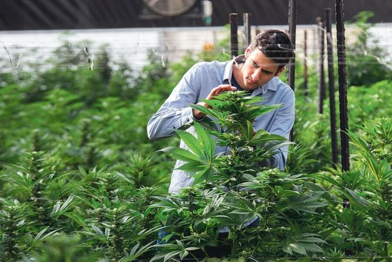 An agricultural engineer  inspects marijuana  plants  at a medical  cannabis plantation Picture: Getty