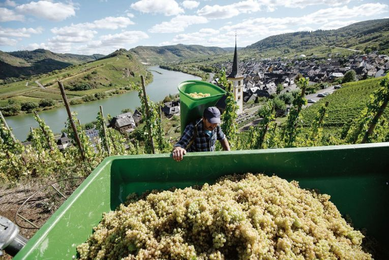Harvesting riesling grapes on the hillside of the Mosel river, a tributary of the Rhine.  Picture: Getty