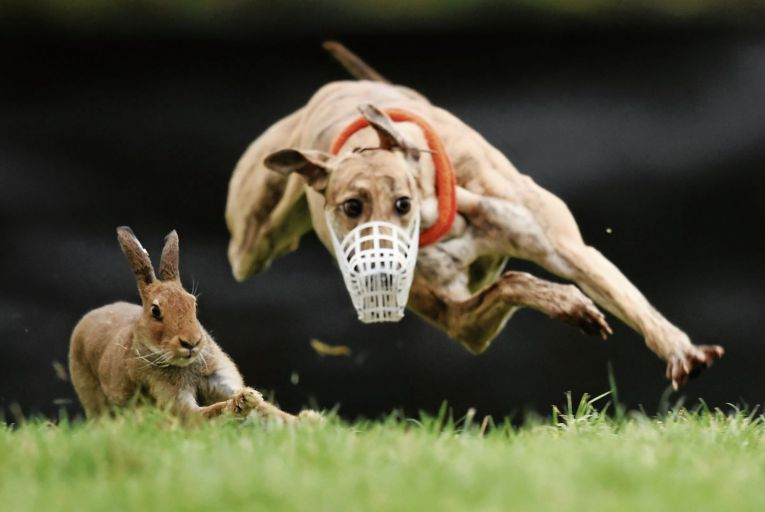 Irish Coursing Club refused to free hares following lockdown