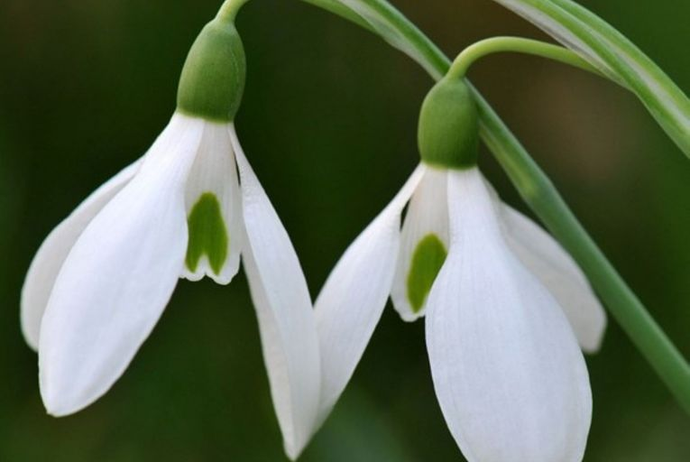 There are 20 species of snowdrop, including some that flower in autumn