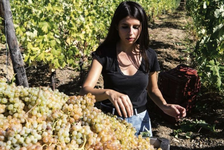 Harvesting the Vermentino grape: despite its Italian sound, it is also widely grown in southern France.