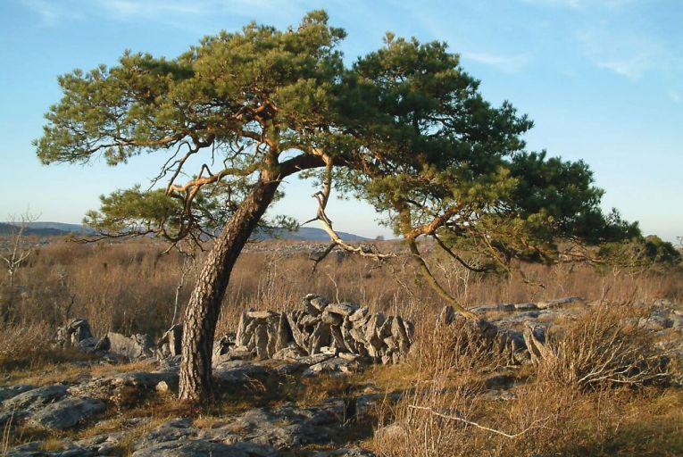 The Burren Pine Project aims to revive Ireland's only native pine tree