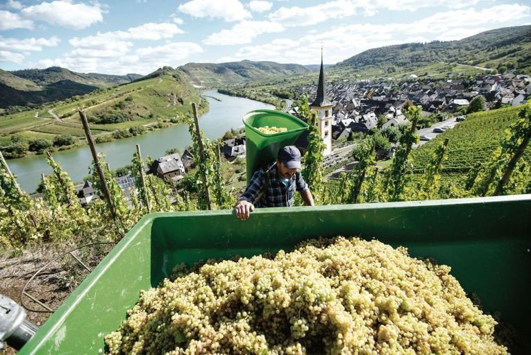 A worker harvesting Riesling grapes above the river Mosel in Germany. Picture: Getty