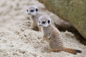 New arrivals at Dublin Zoo: Meerkat pups