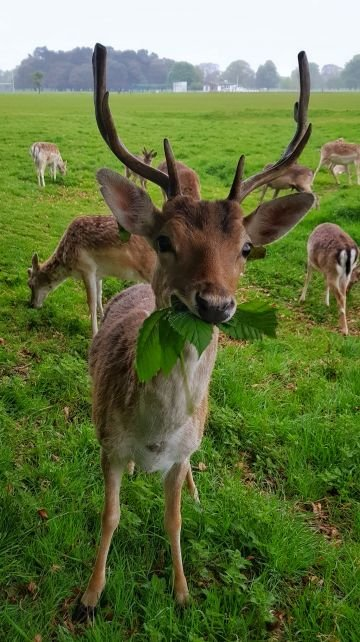 Taken in Phoenix Park. 'Hello deer! A young hungry deer chews on some leafs in my favourite spot in Phoenix Park, a little walk away from where I live.' By James G