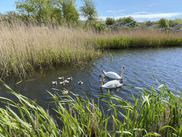 Taken in Fr. Collins Park, Dublin.  'Eight beautiful cygnets born recently in Fr. Collins Park'.  By Catherine M.