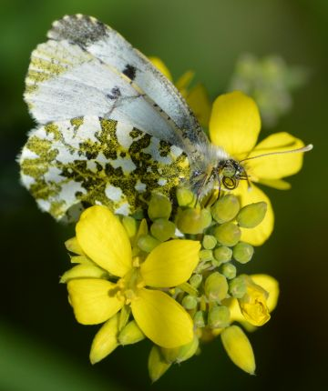 """Taken in Dublin.  """"A beautiful female orange tip butterfly on a flower on the River Dodder, Dublin, on a glorious summer's day.""""  By James G."""