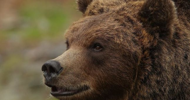 Aurnia, the brown bear rescued from captivity by Donegal sanctuary, passes away