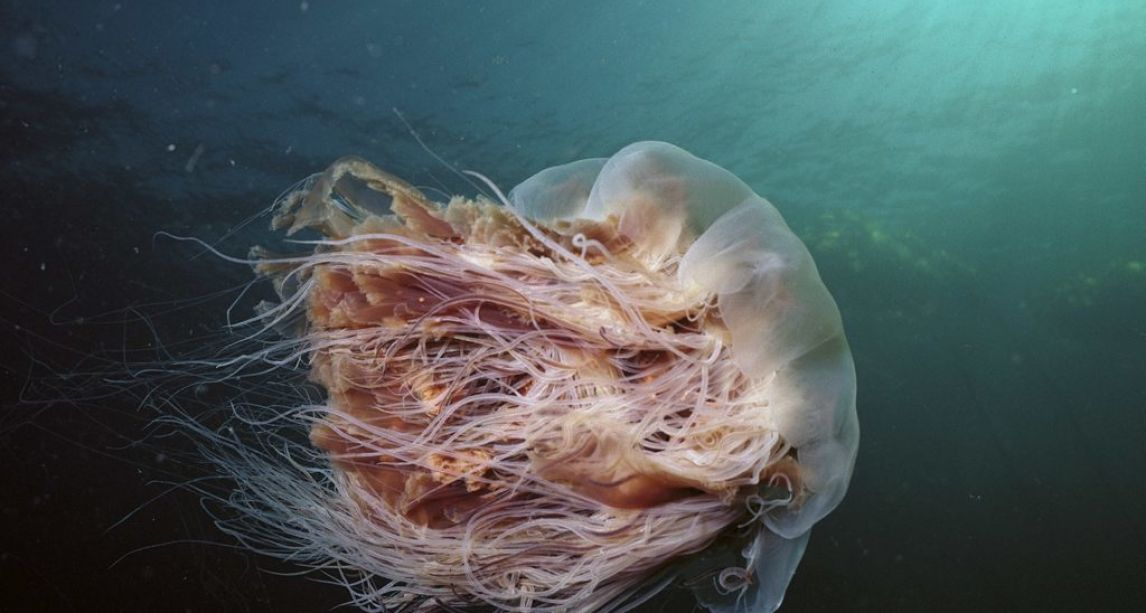 Warning as Lions Mane jellyfish spotted on beaches and off coasts near Dublin