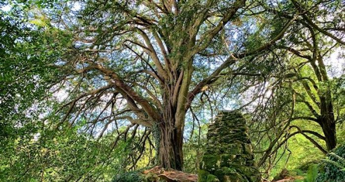 Ireland's winning 'Tree of the Year' is the haunted 'Witch's Yew'